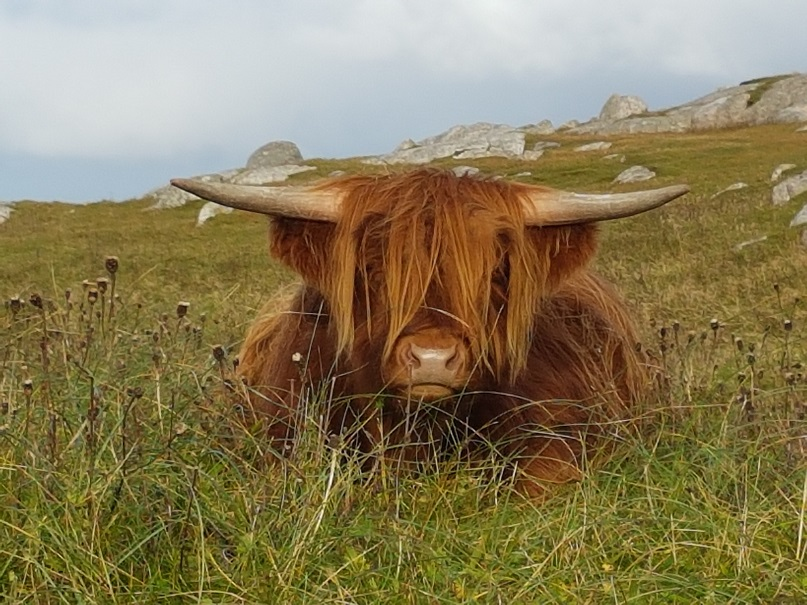 Ways to spot Highland 'Coos'
